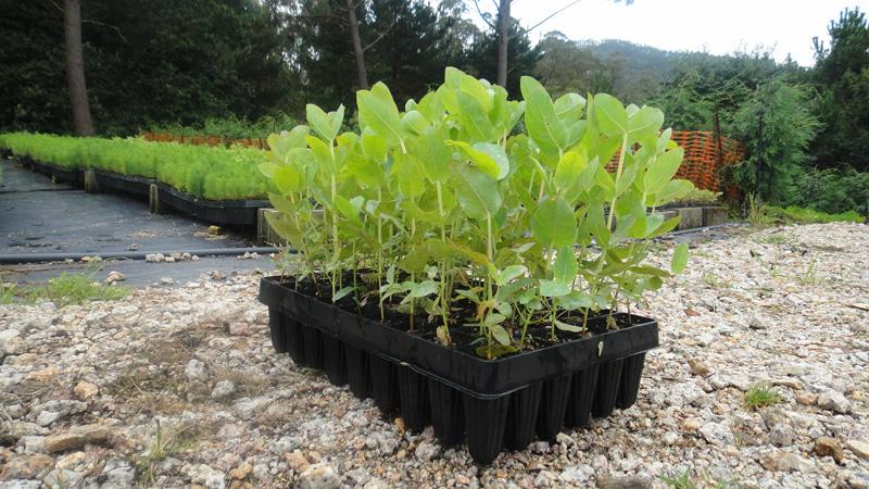 Vifober viveiro forestal berganti os pinus radiata for Construccion de viveros forestales